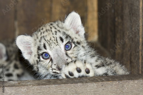 Fotobehang Luipaard Snow leopard (Uncia uncia) cub