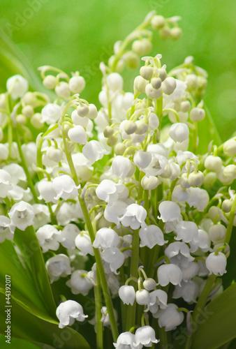 Staande foto Lelietje van dalen Maiglöckchen - Lily of the Valley