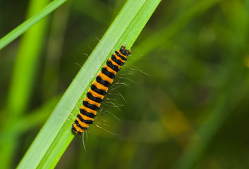 Tiny orange caterpillar with black stripes