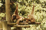 couple gibbon
