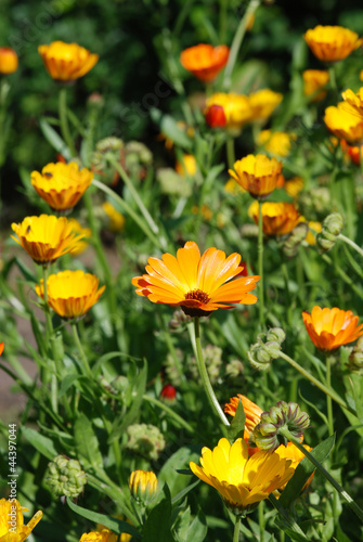 Large Orange Daisys