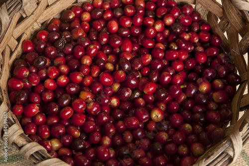 Coffee fruits, Chiriqui highlands, Panama, Central America