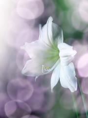 amarÿllis flower and sun bokeh