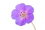 Single flower of a geranium cultivar poster