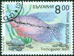 fish(trichogaster leeri)