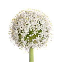 Flower head of an onion (Allium cepa) on white