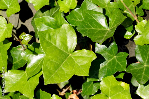 Green Ivy leaves detail  as background,
