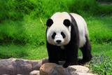 Fototapeta bambus - niedźwiedź - Dziki Ssak