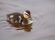 bébé canard