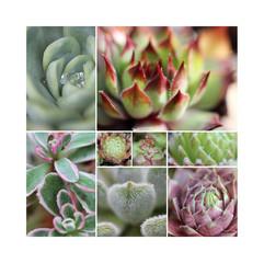 Sempervivum Collage