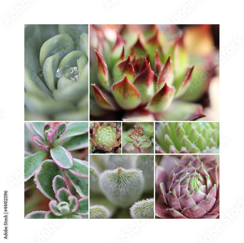 Sempervivum Collage