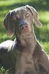 Weimaraner Dog Laying on Grass in Sunshine