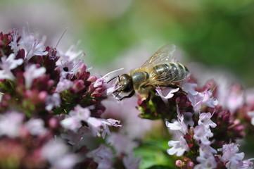 Biene auf Oregano
