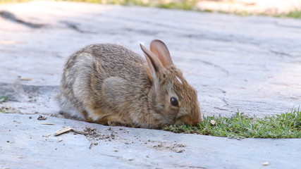 Young rabbit eating grass in the garden