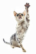 chat bengal joueur