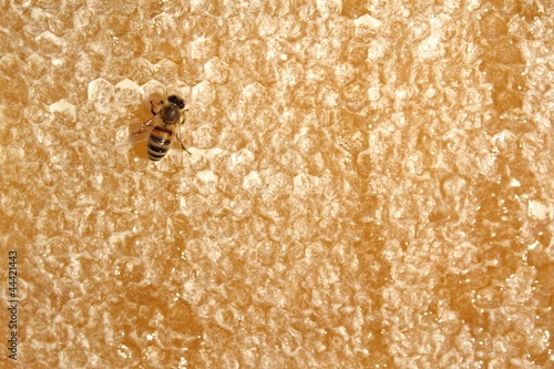 Honey bee on honeycomb