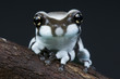Milk frog / Trachycephalus resinifictrix