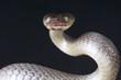 Black tiger snake / Telescopus dhara