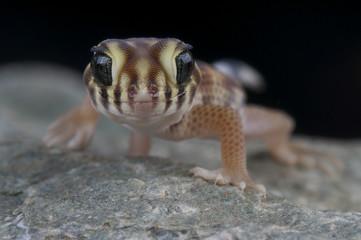 wonder gecko / Teratoscincus scincus