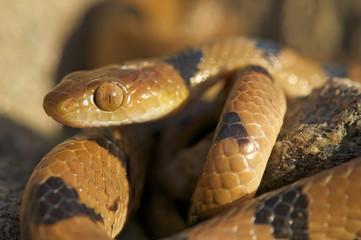 Tiger snake /  Telescopus beetzi