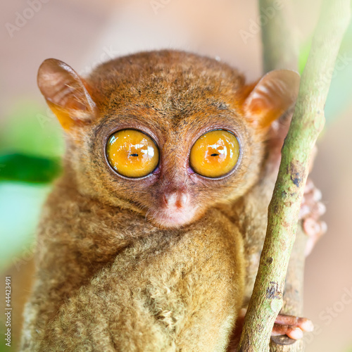 Foto op Canvas Aap Phillipine tarsier