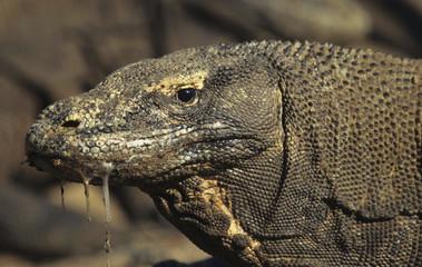 Komodo dragon / Varanus komodoensis