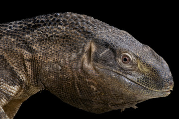 Rock monitor / Varanus albigularis