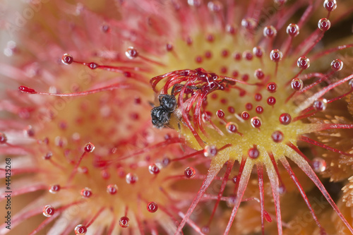 Common sundew (Drosera rotundifolia) with catched insect