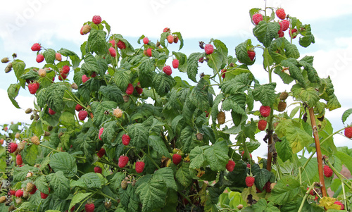 A Bush Full of Ripe Raspberries Ready for Picking.