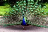 Fototapeta pierze - królewski - Ptak
