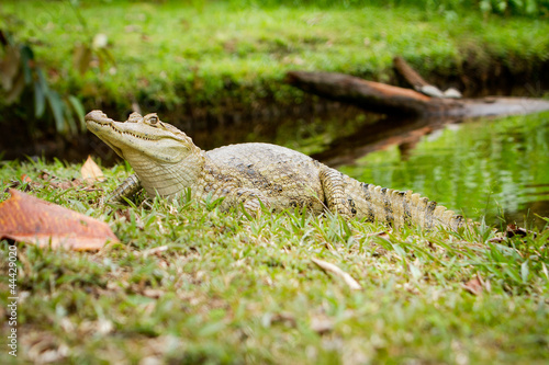 (Caiman crocodilus), also known as the white caiman