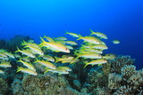 School of Fish on coral reef: Yellowfin Goatfish poster