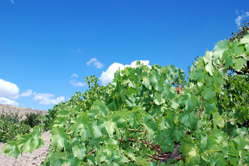 branch of grape vine on blue