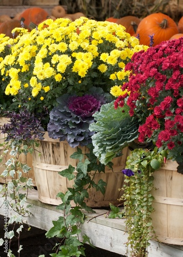 Poster Colorful autumn chrysanthemums at an outdoor farmers market