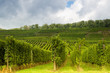 Alsatian vineyards and hills
