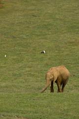 Elefante joven