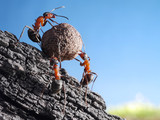 team of ants rolls stone uphill, teamwork concept - Fine Art prints