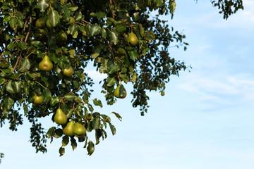 Reife Birnen am Baum