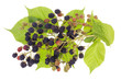 blackberries bush concept