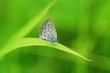 ヤマトシジミ蝶
