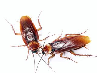 Dos cucarachas en fondo blanco,insecto desagradable.