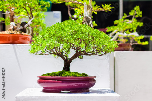 aufkleber japanese bonsai trees on an exhibition fototapeten aufkleber poster. Black Bedroom Furniture Sets. Home Design Ideas