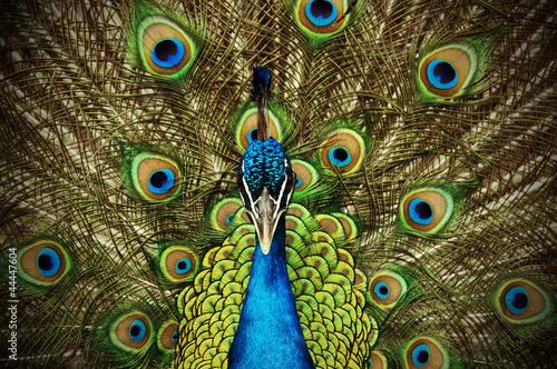 Keuken foto achterwand Pauw Peacock 1