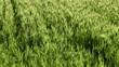 A boy relaxing in a field of wheat