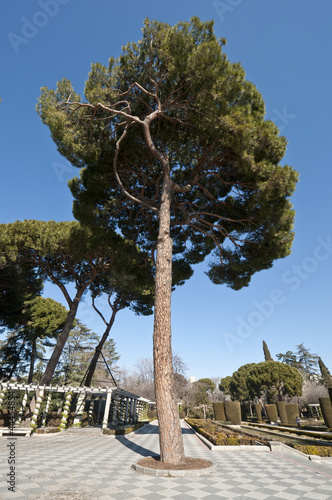 Pine tree and pergolas in Retiro Park, Madrid, Spain