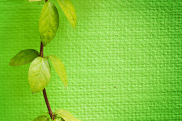 Ivy leaves on green wall with space used for background