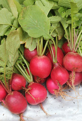 Fresh pink-red colored round radish heap collected from a organi