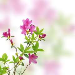 pink azalea on white background