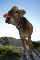 The cow on a summer  pasture in Alps