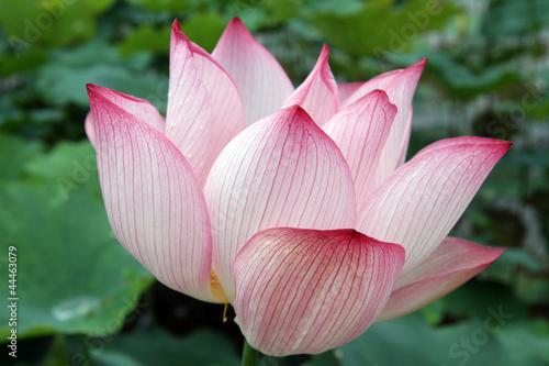 Foto op Aluminium Lotusbloem Big lotus